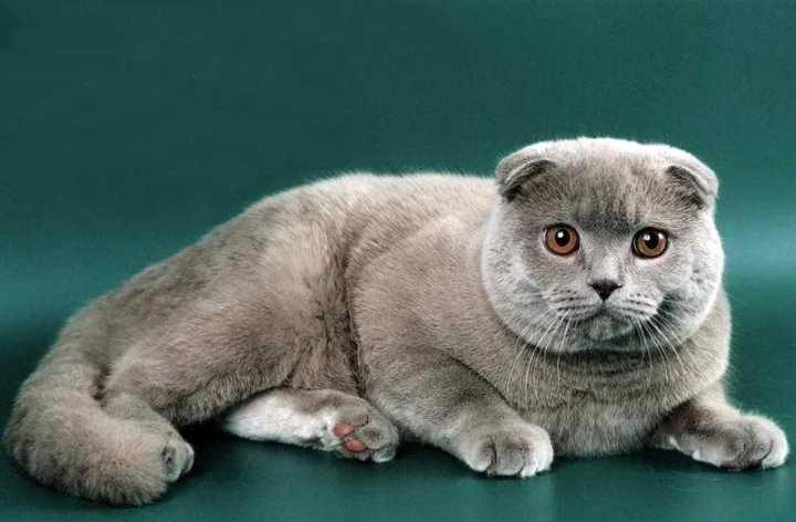 Аллергия на шотландских кошек это