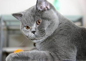 Как назвать британца: список популярных, прикольных и редких кличек для котов и кошек