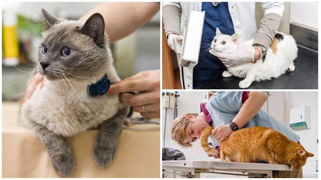 Как проглистогонить кошку: как часто, какое лучше глистогонное