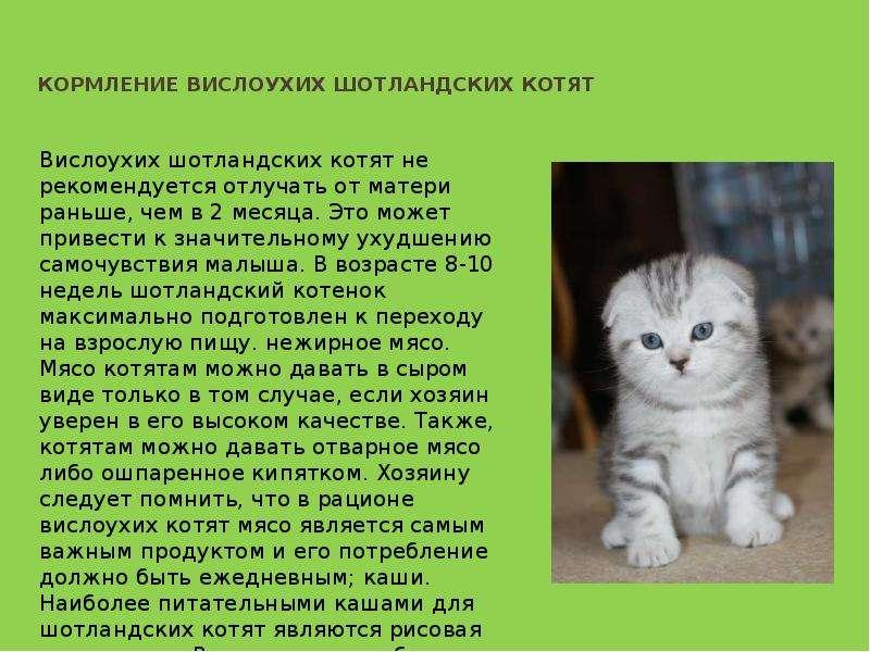 Вязка шотландских кошек: срок беременности, роды, котята