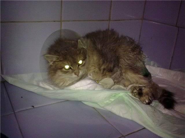 Причины и лечение вздутия живота у котов