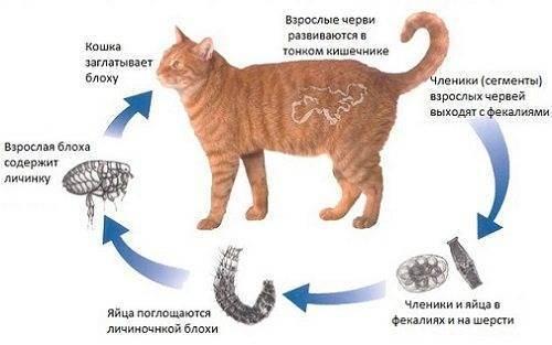 «цестал кэт» — от чего помогает и как давать кошке