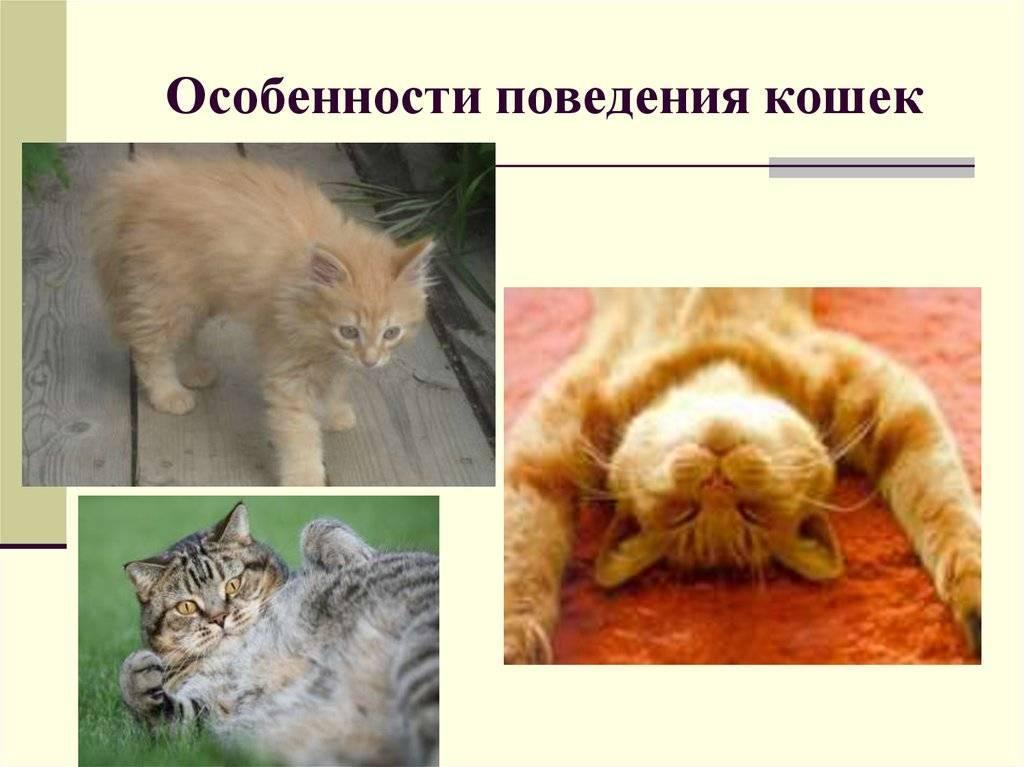Повадки кошек: значение, безобидные и вредные, что делать