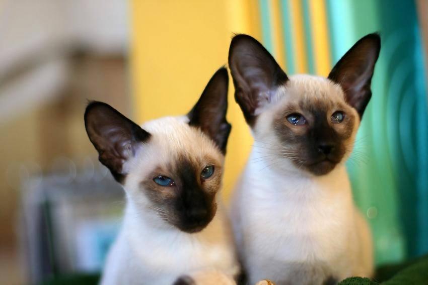 Сиамская кошка: характер, отзывы, достоинства и недостатки, цены