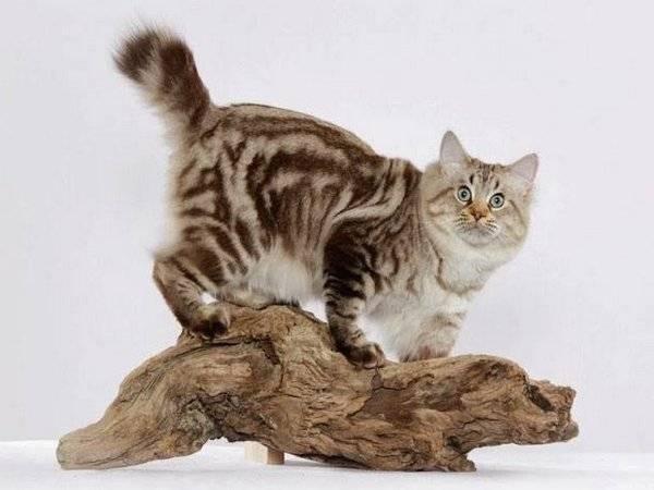 Табби кошка: разновидности окраса и рисунка шерсти азиатской, британской и других пород