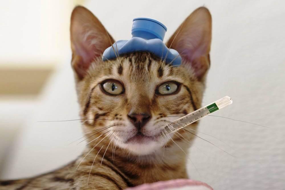 Коронавирус у животных – вопросы и ответы про кошек и собак