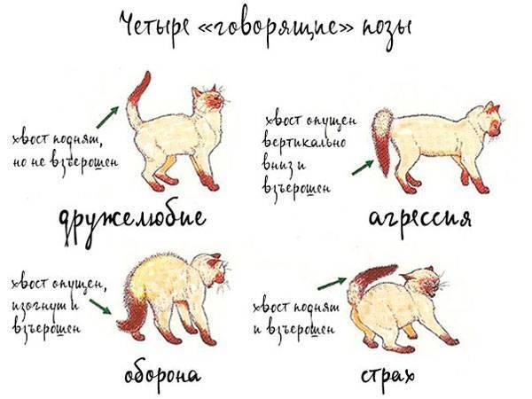 Кошка после вязки: возможные проблемы