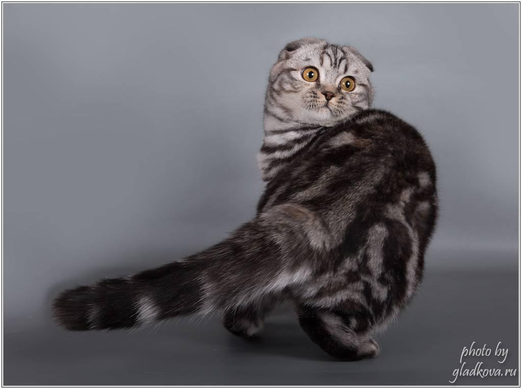 Скоттиш фолд (шотландская вислоухая) кошка: подробное описание, фото, купить, видео, цена, содержание дома