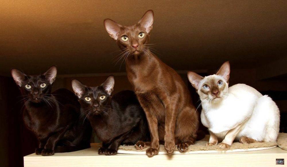 Яванская кошка, или яванез: описание породы с фото, особенности содержания