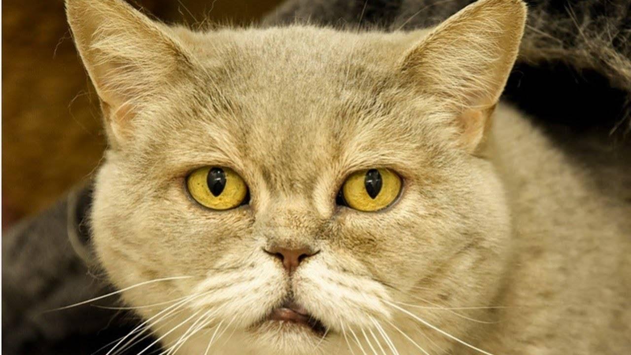 Почему кошка икает после еды
