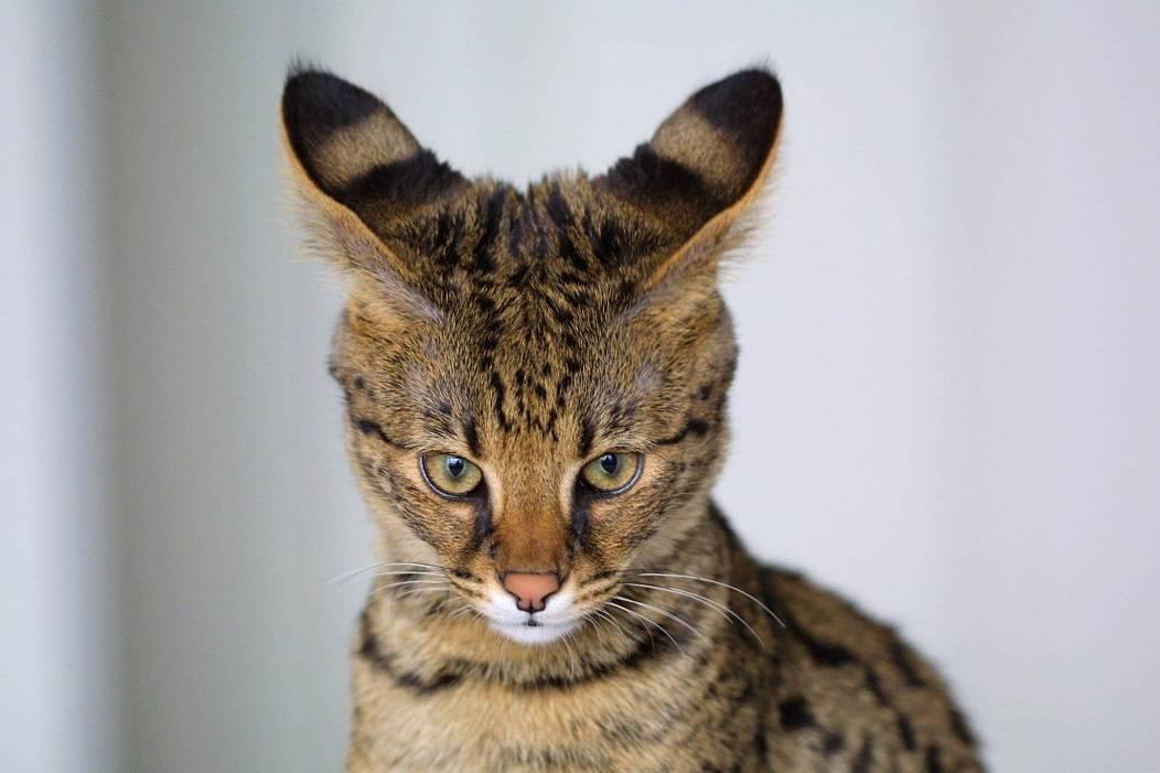 Самые опасные кошки в мире топ 10