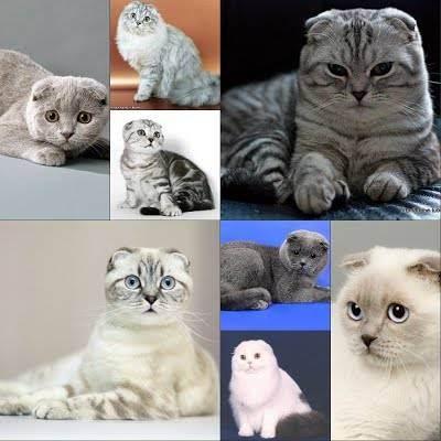 Поведение шотландцев. шотландская кошка характер взрослой кошки, достоинства и недостатки, отзывы