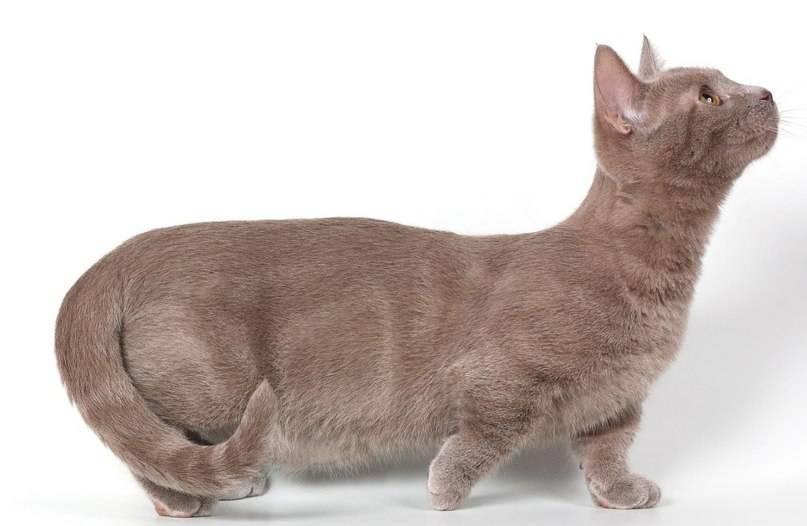 Разновидности пород коротколапых кошек