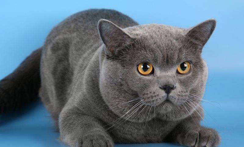 История появления породы британская кошка
