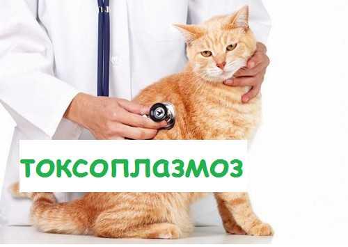 Токсоплазмоз у кошек — симптомы и лечение заболевания