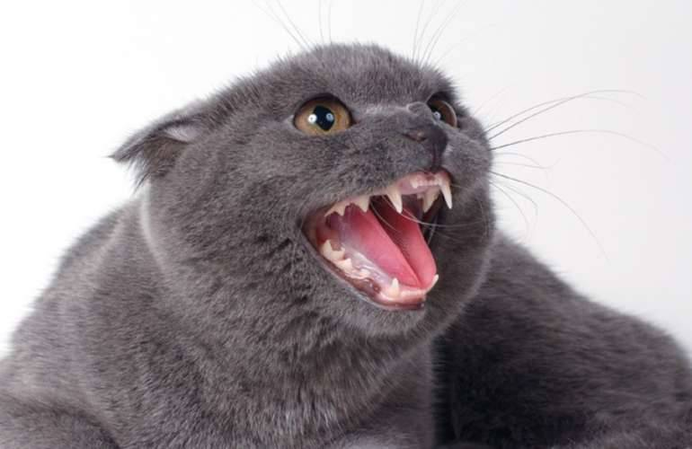 Сколько зубов у кошки и что они могут рассказать о вашем питомце?