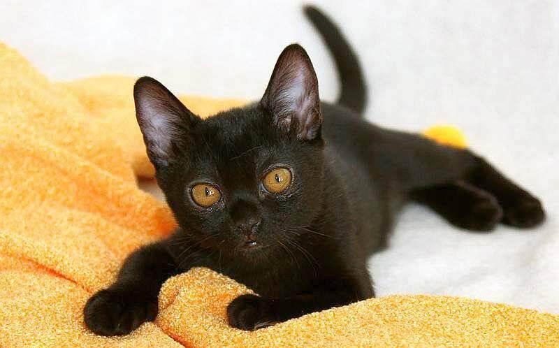 Бомбейская кошка - внешность породы, характер, цена бомбейской кошки