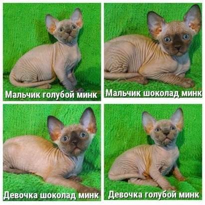 Канадский сфинкс: описание породы, характер и особености, котята