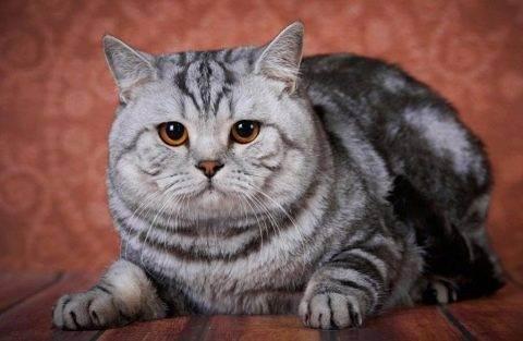 Вес британского котенка по месяцам