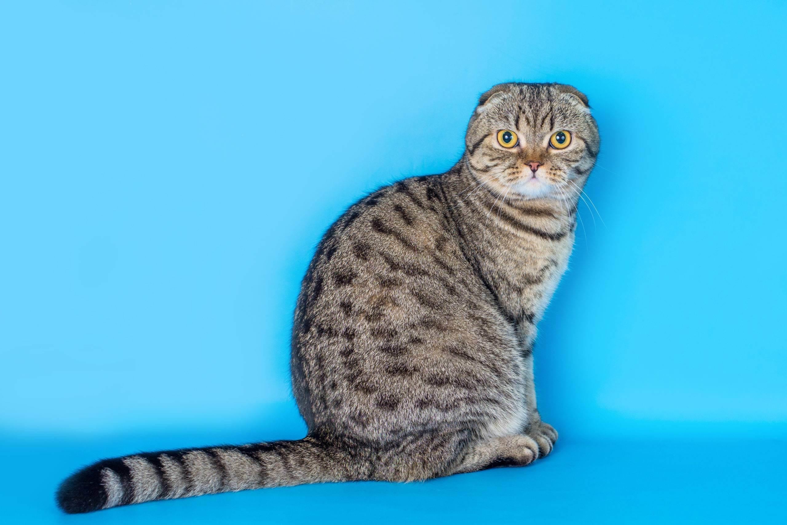 Разнообразие окрасов шотландских прямоухих кошек