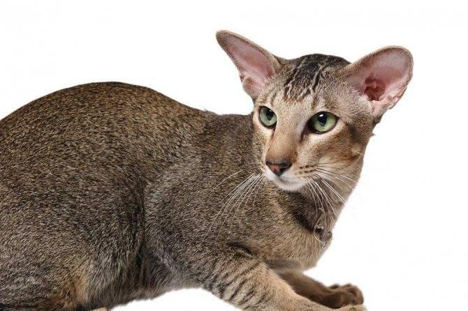Ориентальная кошка: описание породы