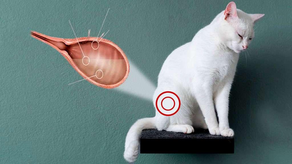 Мочекаменная болезнь у котов (кошек): симптомы, лечение, профилактика
