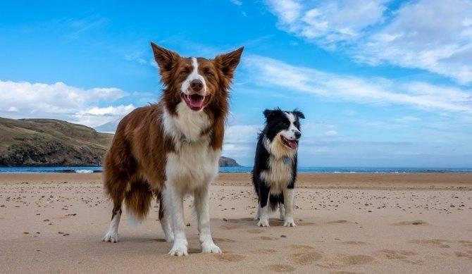 Колли собака. описание, особенности, уход и цена колли   sobakagav.ru
