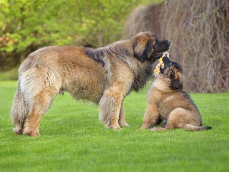 Леонбергер: описание породы собак с фото и видео