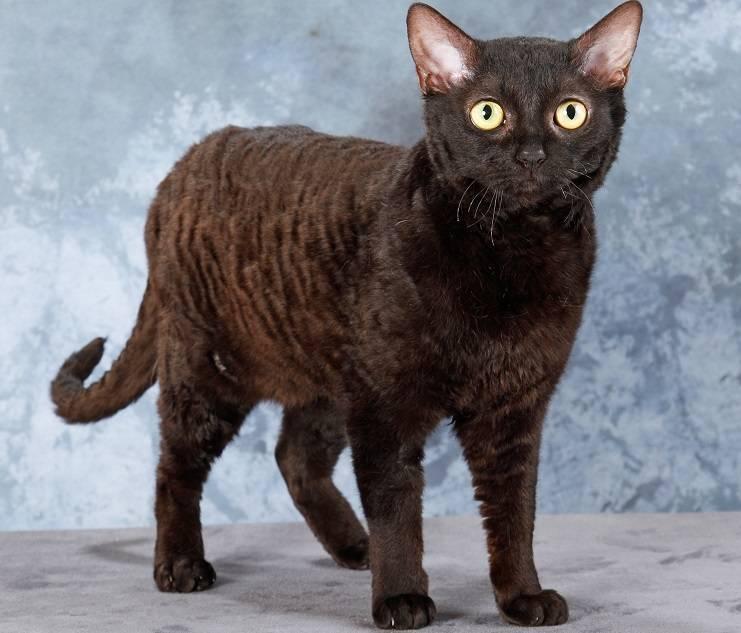 Немецкий рекс: описание породы кошек и особенности характера