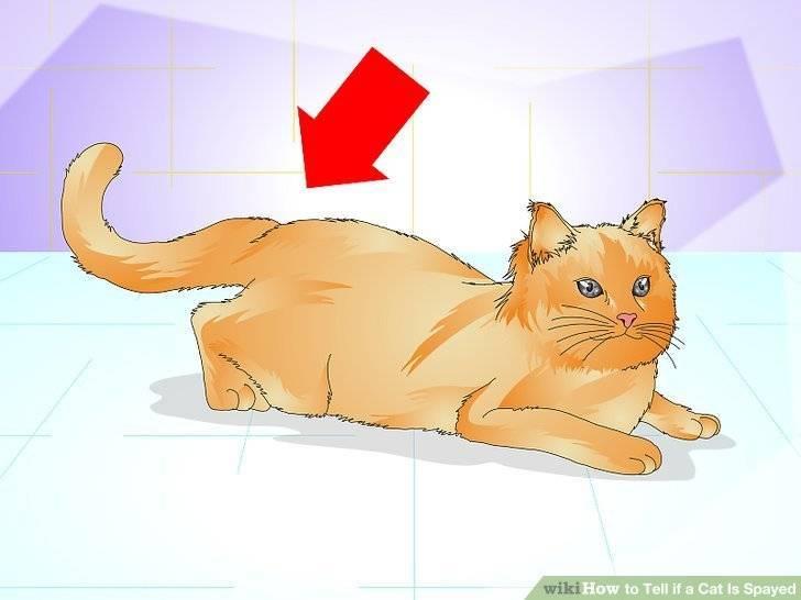 Как понять, что у кошки течка: признаки, стадии, решение проблемы