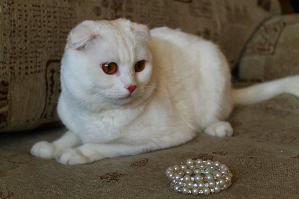 Правила подбора пары для вязки шотландских кошек