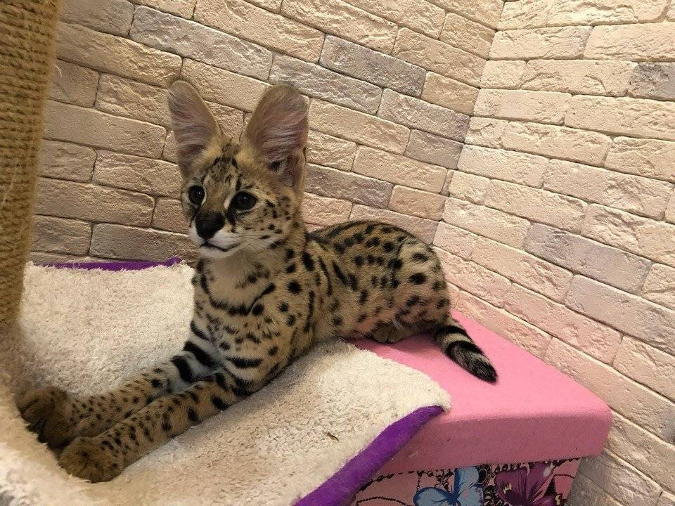 Саванна – смесь домашней кошки и дикого сервала