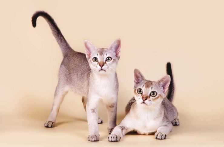 Самые популярные кошки: топ-20 пород с фото самые популярные кошки: топ-20 пород с фото