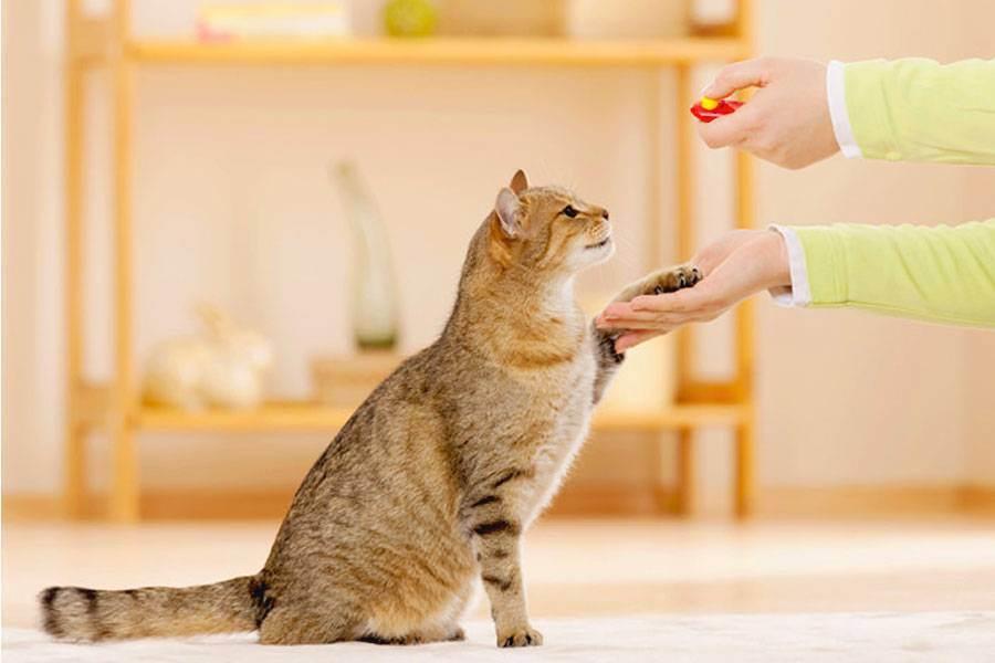 Как приучить кошку к когтеточке: эффективные способы приучения взрослых котов и котят, правила выбора изделия