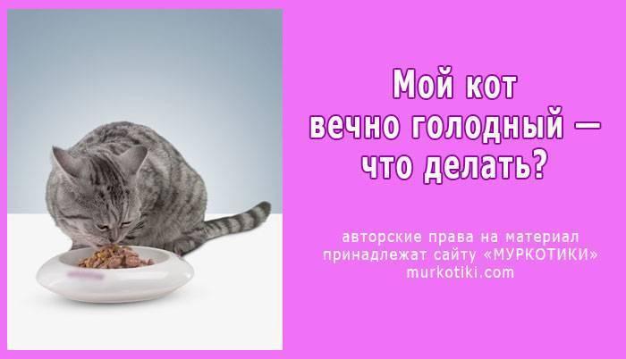 ᐉ 7 причин, почему кот постоянно просит есть: кот очень много ест, что делать - kcc-zoo.ru