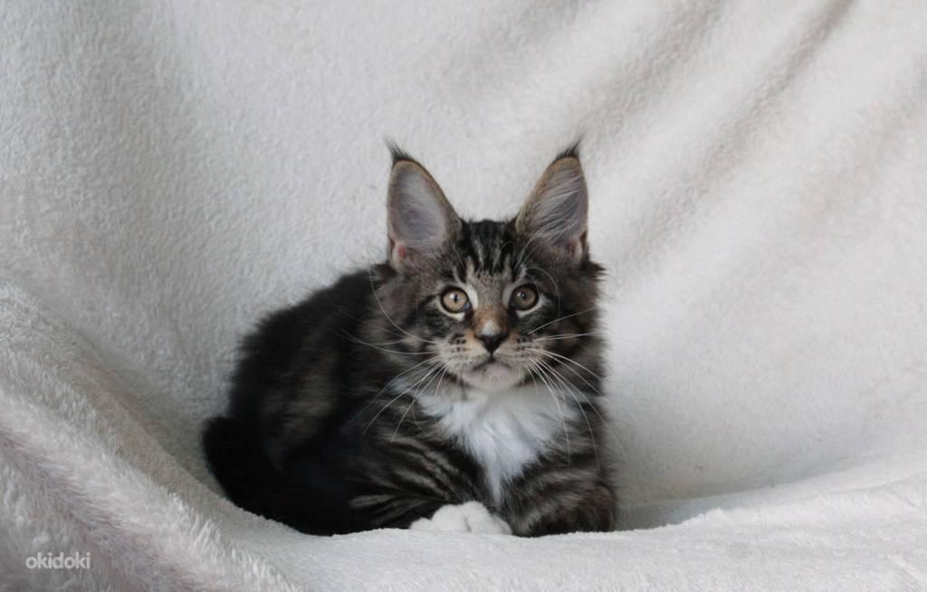 Имена для кошки мейн-куна: красивые и прикольные клички для девочек породы мейн-кун