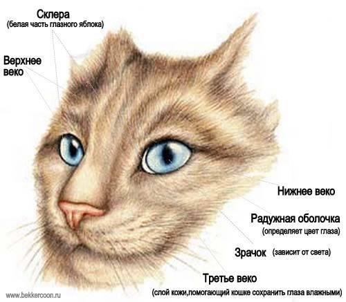 Глаза кошки, строение и особенности кошачьего зрения: как видят коты, что значат расширенные зрачки?
