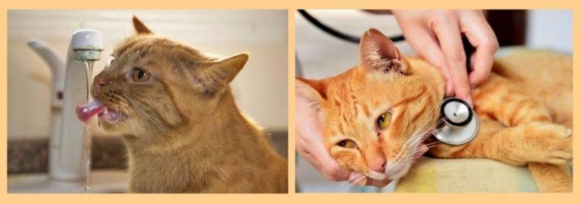 Цистит у кошек - 110 фото, описание первых признаков и актуальные методики лечения