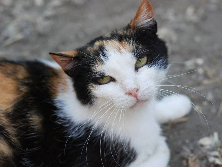 Трёхцветная кошка в доме - приметы