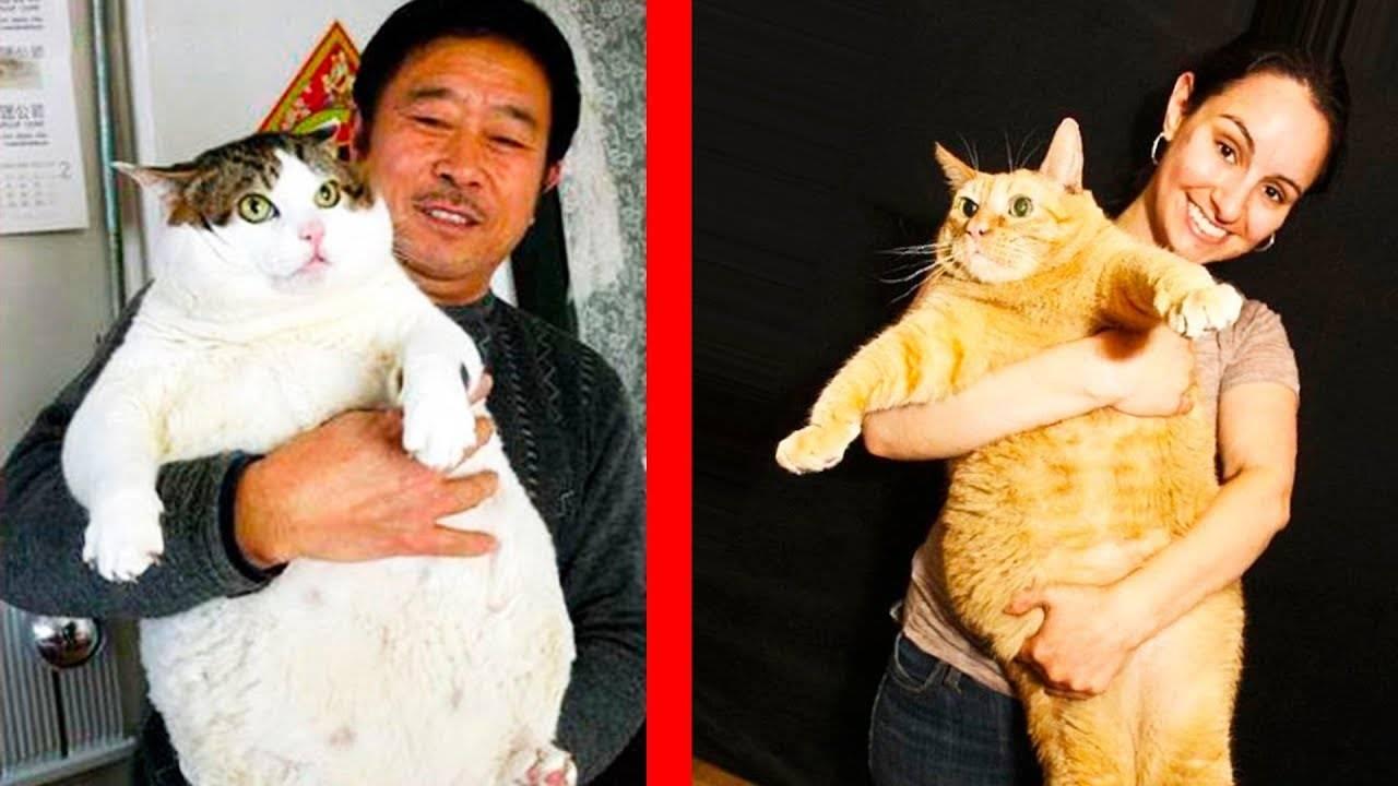 Рейтинг самых больших кошек в мире — 4 лапки