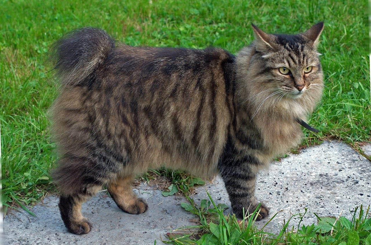 Зачем кошке хвост: как он устроен и что о нём нужно знать