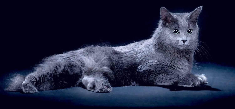 Нибелунг (кошка): фото, цена котенка, описание породы и характера, уход