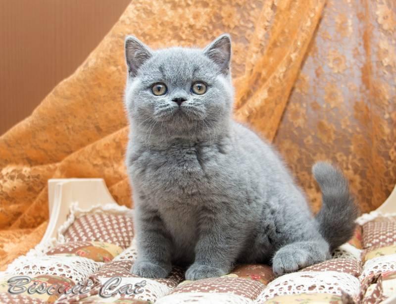 Как выбрать британца котенка правильно: критерии и советы
