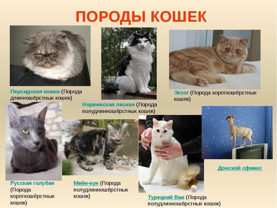 Самые опасные кошки в мире: топ-10 пород с описанием