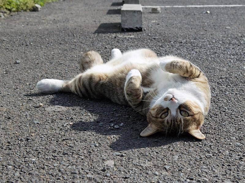 Как уберечь кошку от гипертермии