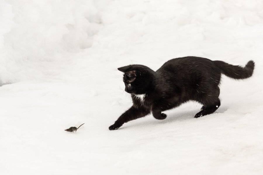 Кошки все понимают! как заставить кошку ловить мышей. как научить кошку ловить мышей? перестать кормить кошку.
