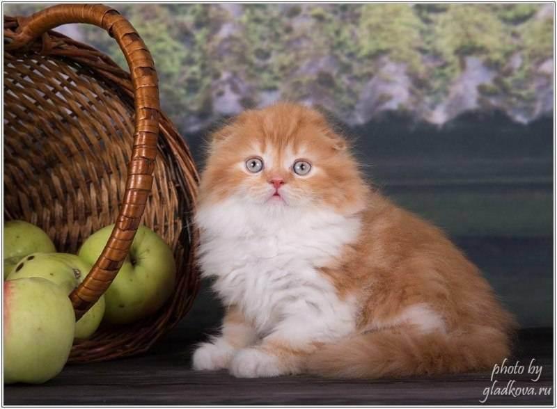 Породистый шотландец: как правильно выбрать котенка и не ошибиться?