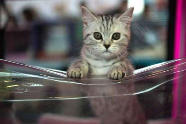 Какие коты не вызывают аллергию у людей: лучшие гипоаллергенные породы кошек