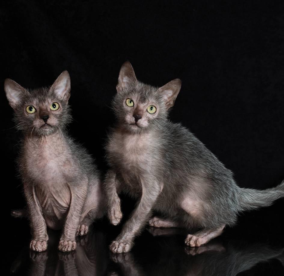 Ликой (коты-оборотни): фото, описание породы, характер, советы по содержанию и уходу