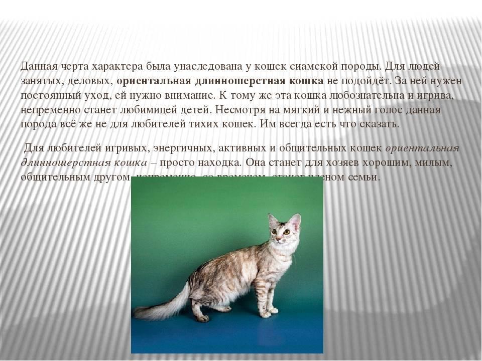 Персидская порода кошек: особенности внешности и характера, нюансы ухода